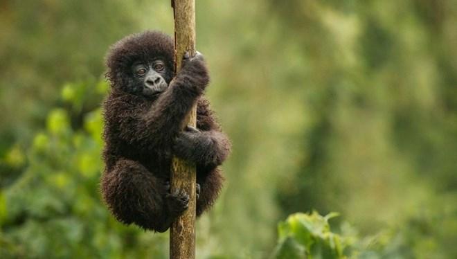 Virunga Belgeseli Film Oluyor Virunga Belgeseli Film Oluyor