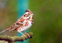 Türkiye'de Nadir Görülen Ak Kaşlı Kiraz Kuşu Zonguldak'ta Fotoğraflandı
