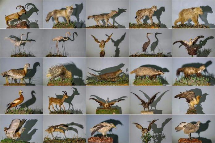 Van'da Yaban Hayvanları Tahnit Sanatıyla Müzede Tanıtılacak