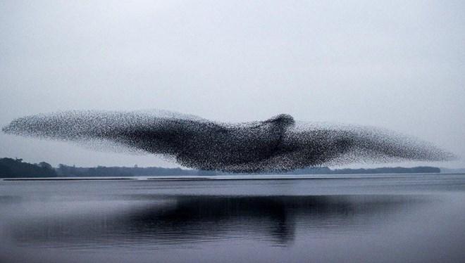 Fotoğraf Sanatçısı Crombie Sığırcık Kuşlarının Gökyüzündeki Toplu Şölenini Fotoğrafladı